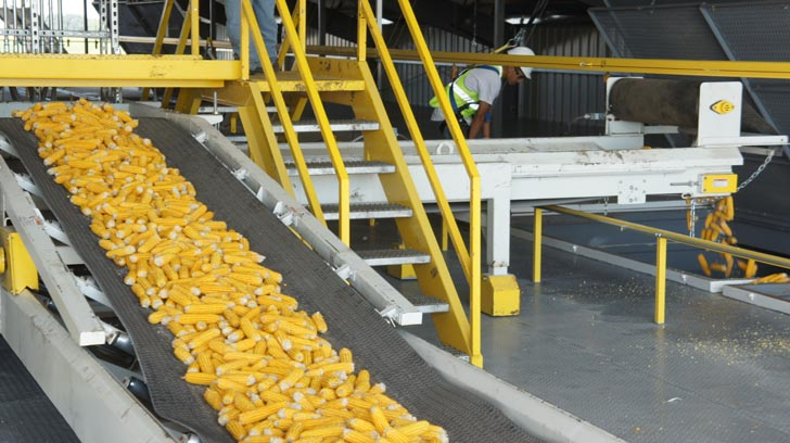 Belt conveyor moving corn.